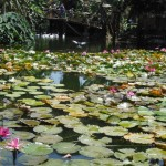 Lily pads at the zoo