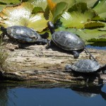 Tortugas (turtles)