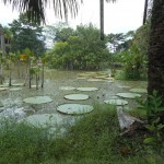 View of the lily pads and pond